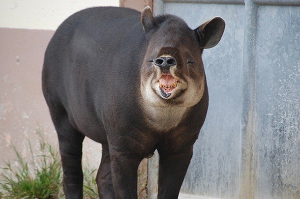 Baird Tapir Mammals That Are Shockingly Ugly