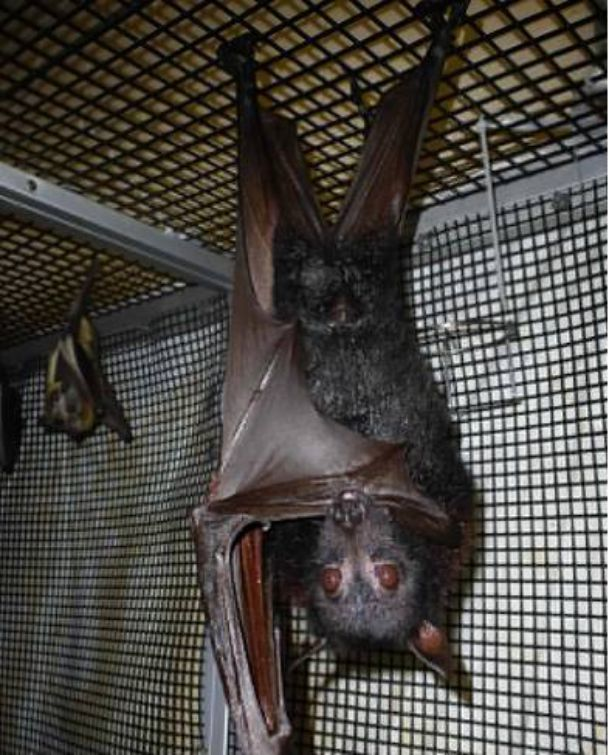 Flying Fox Mammals That Are Shockingly Ugly