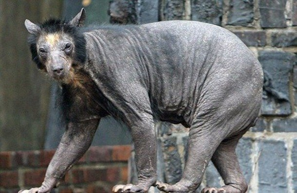 Oriental Yeti Mammals That Are Shockingly Ugly
