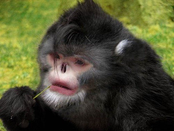 Snub Nosed Monkey Mammals That Are Shockingly Ugly