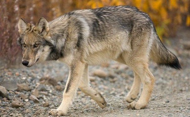 Wolves Attack Zookeeper