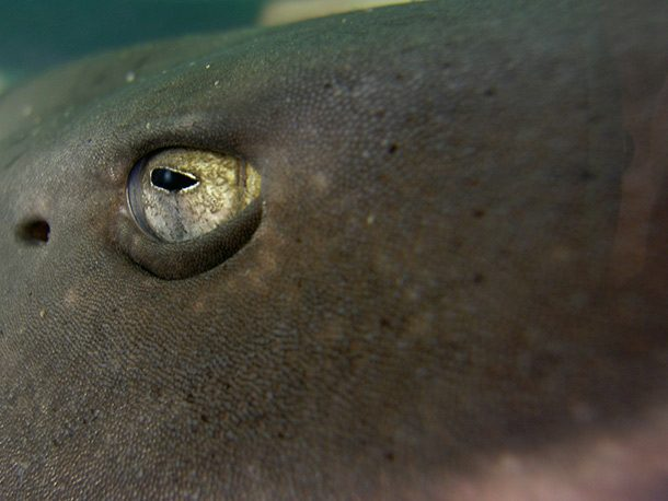 All the Better to Hear You With Facts About Sharks
