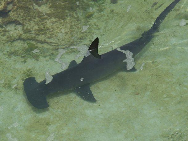 Jam Packed killer shark facts