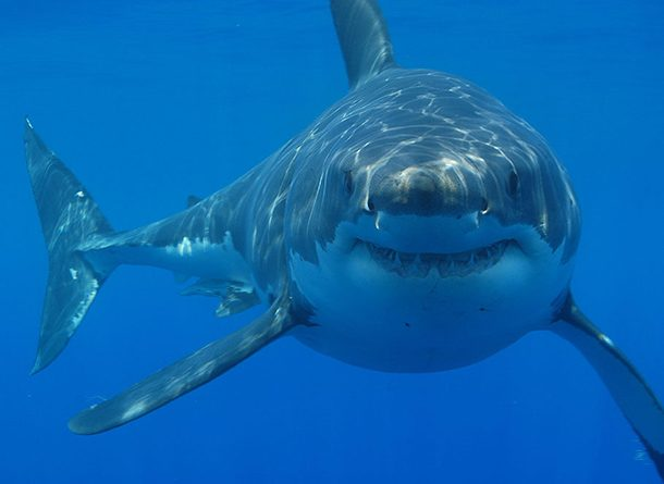 Largest Shark killer shark facts