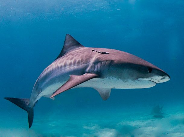 Survival of the Fittest facts about sharks you never knew