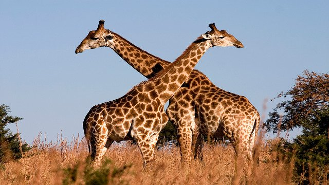 Tallest Animal List Of Animal Superlatives That You Wont Believe Exist
