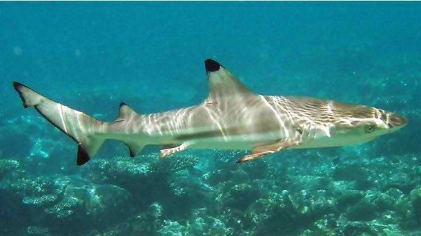 Backtip Reef Shark