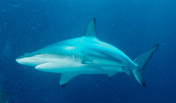 Blacktip Shark Which Shark Has The Most Attacks On Humans?
