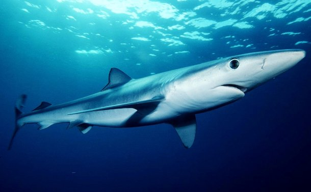 Blue Shark shark attacks statisticss