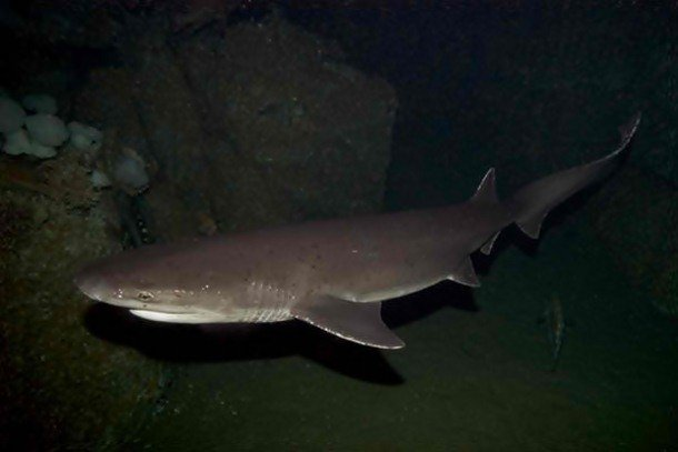 Broadnose Sevengill Shark Which Shark Has The Most Attacks On Humans?