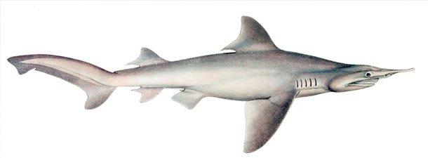Daggernose Shark sawshark shark