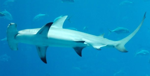 Hammerhead Sharks shark attacks statisticss