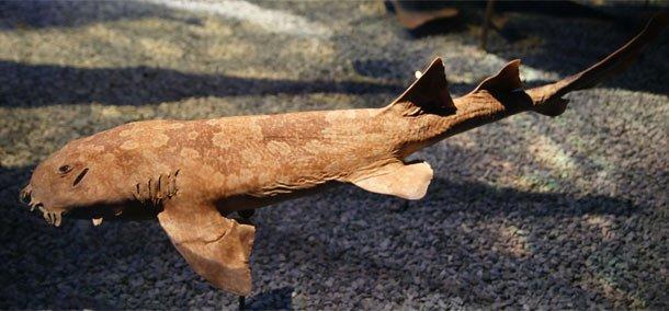 Japanese Wobbegong (Orectolobus japonicas) weird shark facts
