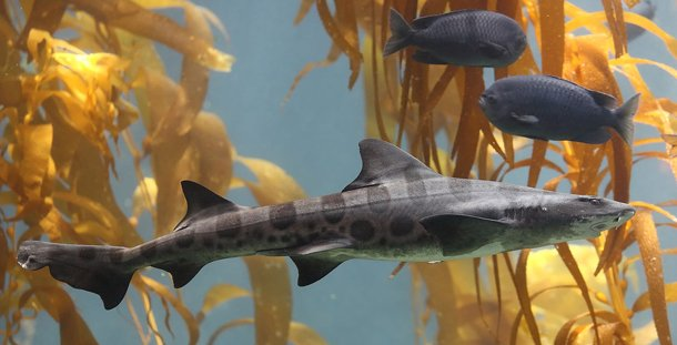 Leopard shark Shark Attacks Statistics
