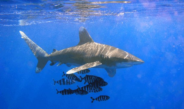 Oceanic Whitetip Shark international shark attack file