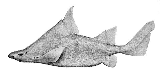 Prickly Dogfish Weird Sharks That Are Real