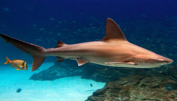 Sandbar Shark how many shark attacks