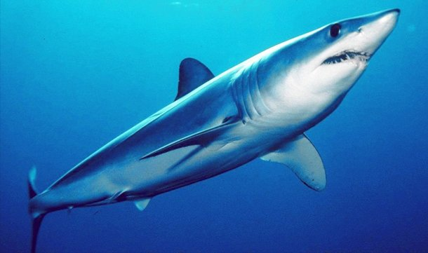 Shortfin Mako Shark international shark attack file