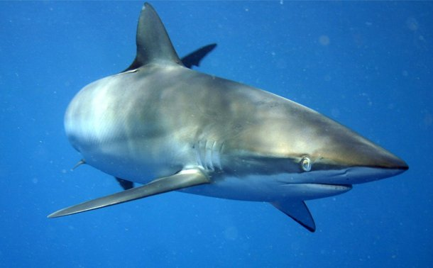 Silky Shark Shark Attacks Statistics