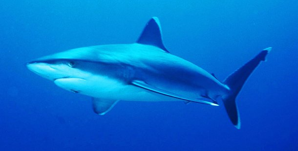 Silver tip shark Which Shark Has The Most Attacks On Humans?