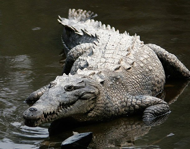 Swimmer Chased by Crocodile in Mexico  pet and human relationships