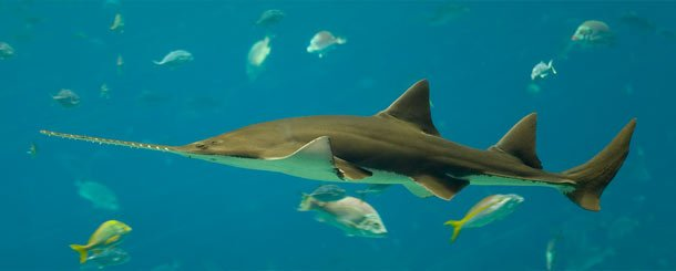 The Bahamas Sawshark