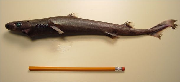 The Dwarf Lantern Shark Weird Sharks That Are Real