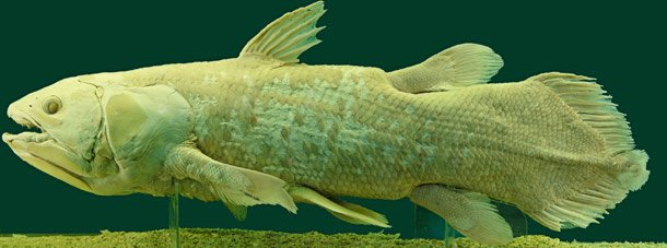 Coelacanth Oldest Living Mammal Species On Earth