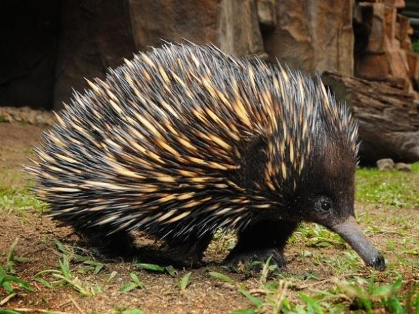 Echidna Oldest Living Mammal Species On Earth
