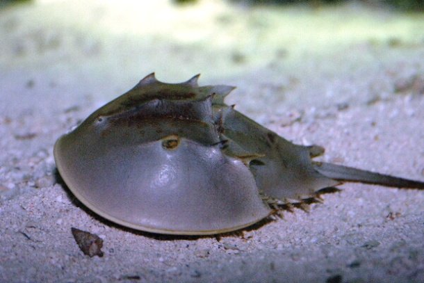 Horseshoe crab longest living land mammal