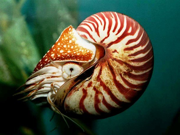 Nautilus oldest plant species