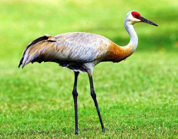 Sandhill crane oldest land animal species