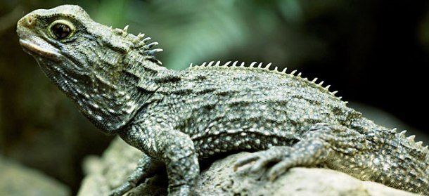 Tuatara Oldest Living Mammal Species On Earth