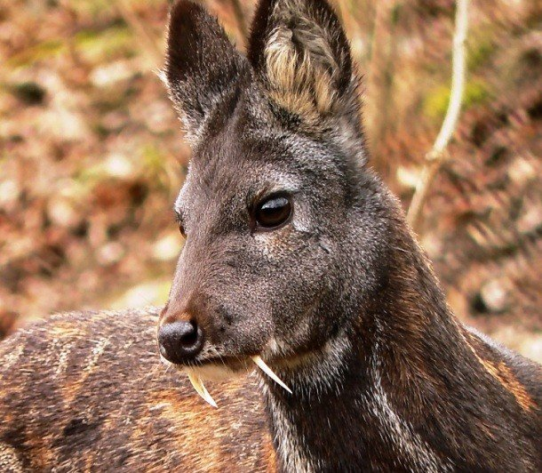 Musk deer pictures of animals and their body parts