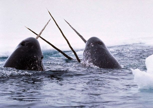 Narwhal pictures of animals and their body parts