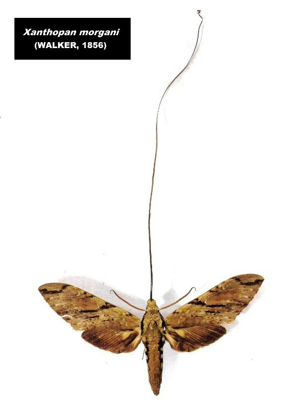 Morgan's sphinx moth pictures of animals and their body parts