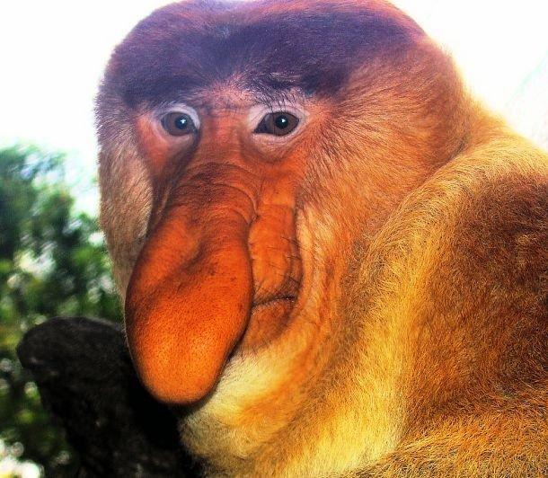 Proboscis monkey animal body parts worksheets
