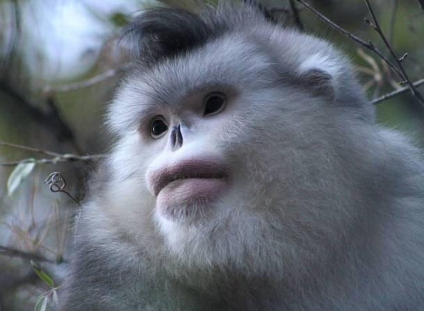 Snub-nosed monkey animal body parts worksheets