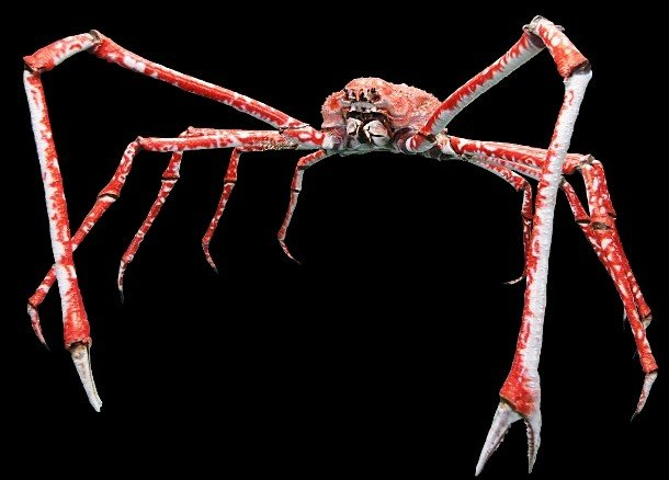 Japanese spider crab pictures of animals and their body parts