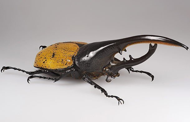 Hercules beetle pictures of animals and their body parts