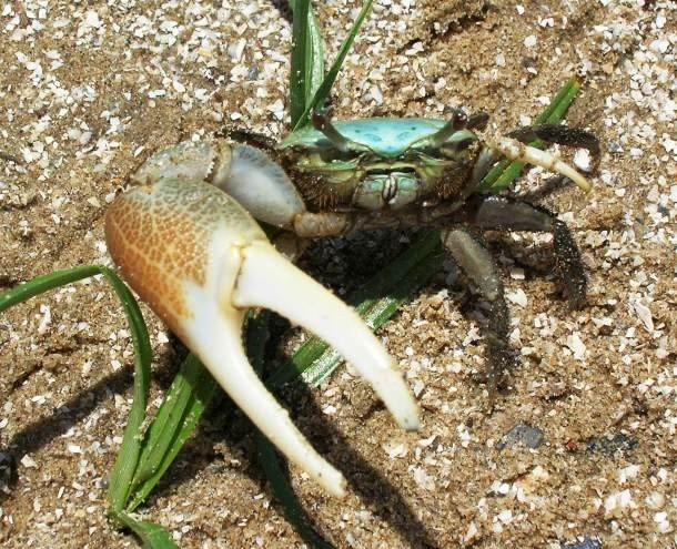 Fiddler crab List Of Animals With Special Body Parts