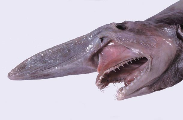 Goblin sharks examples of animals with special body parts