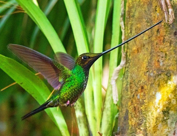 Sword-billed hummingbird examples of animals with special body parts