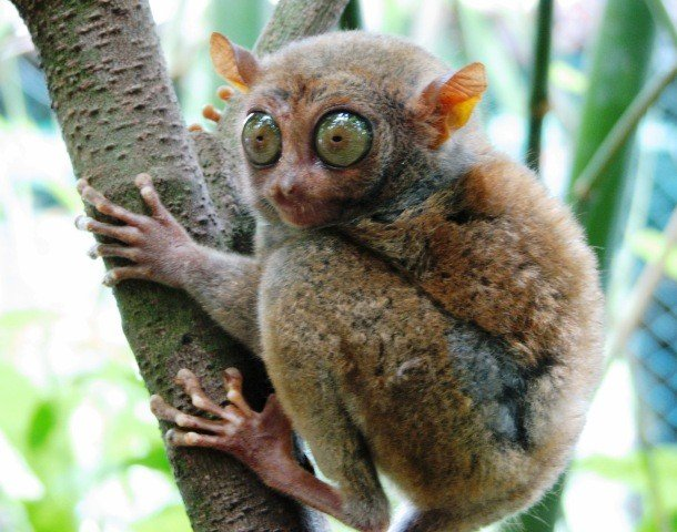 Tarsier examples of animals with special body parts