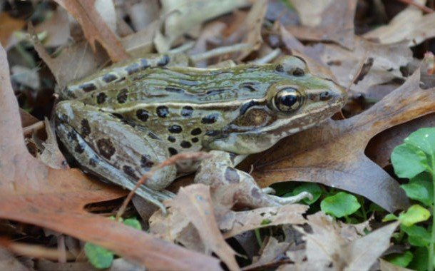 The Atlantic Coast leopard frog