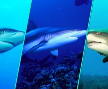 Which Shark Has The Most Attacks On Humans?